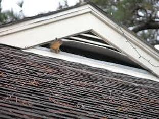 Squirrel in Attic through Vent Hole