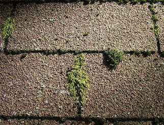 Moss Growing on Shingles Chesterfield VA Roofing Chesterfield VA