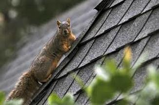 Squirrels Cause Damage to Roofs Chesterfield VA Roofing Chesterfield VA